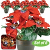 LED Lighted Poinsettia - Set of 6
