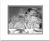 HALF DOME, APPLE ORCHARD, WINTER