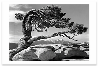 JEFFREY PINE ON SENTINEL DOME, YOSEMITE  NATIONAL PARK, CA, c 1940