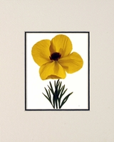 MEXICAN TULIP POPPY - SMALL MATTED REPRODUCTION