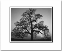 OAK TREE, SUNSET CITY, CALIFORNIA