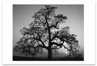 OAK TREE, SUNSET CITY, SIERRA FOOTHILLS, CA, c 1948