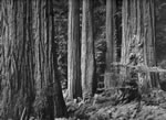 REDWOOD GROVE (MP-249)