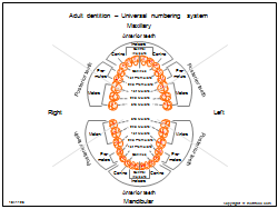 Adult dentition - Universal numbering system