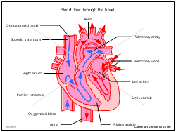 Blood flow through the heart