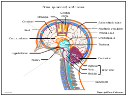 Brain spinal cord and nerves