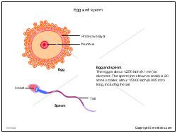 Egg and sperm