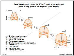 Facial development within the 3rd to 4th week of the embryonic period during prenatal development