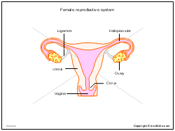Female reproductive system ppt powerpoint drawing diagrams templates