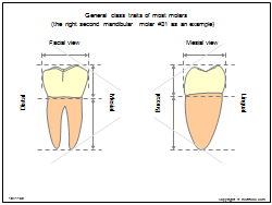 General class traits of most molars