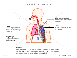 How breathing works - exhaling