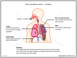 How breathing works - inhaling