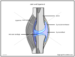 Joint and ligament