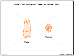 Maxillary right first premolar (mesial and occlusal views)