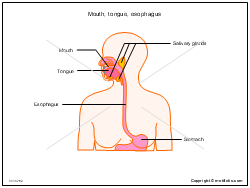 Mouth tongue esophagus