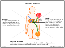 Pancreatic hormones