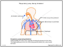 Respiratory pump during inhalation