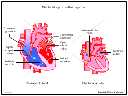 The heart cycle - Atrial systole