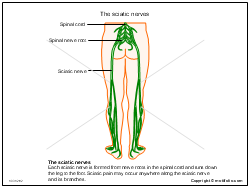 The sciatic nerves