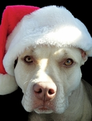 Lola Pit Bull Christmas Cards (Pack of 10)