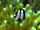 3-Stripe Damsel Fish - Dascyllus aruanus - 3-Striped Humbug Damselfish