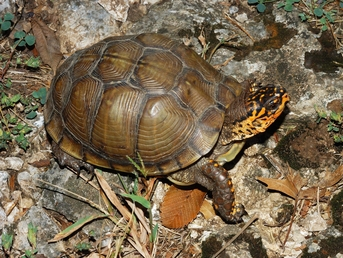 3-Toe The Three-Toed Box Turtle - Terrapene carolina triunguis - Three-Toed Turtle