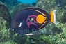 Achilles Tang (Adult) - Acanthurus achilles - Red-tailed Surgeon - Achilles Surgeonfish