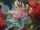 Antennata Lionfish - Pterois antennata - Ragged-finned Firefish - Spotfin Lion Fish