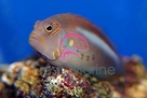 Arc-Eye Hawkfish - Paracirrhites arcatus - Arc Eye Hawk Fish