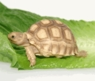 Baby Sulcata Tortoises - Temp Sexed Female