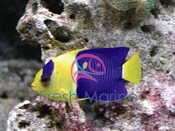 Bicolor Angelfish - Centropyge bicolor - Bicolor Angel Fish