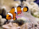 Black and White False Ocellaris Clown Fish - Amphiprion ocellaris - Black and White False Percula
