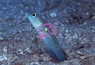 Black Cap Jawfish - Opistognathus lonchurus - Moustache Jawfish