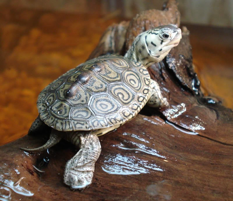adult diamondback sale terrapins
