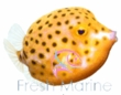 Boxfish / Trunkfish