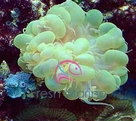 Bubble Green Coral - Physogyra species - Small Bubble Coral - Octobubble