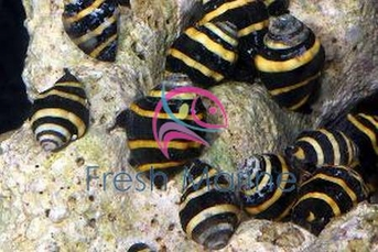 Bumble Bee Snail Tiny - Pusiostoma mendicaria - Bumble Bee Snail