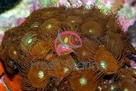 Button Polyp - Brown - Epizoanthus species - Sea Mats - Moon Polyps - Encrusting Anemones