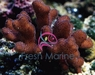 Cat's Paw Coral - Pink - Stylophora species - Stylophora Coral - Brush Coral - Club Finger Coral - Gypsy Coral - Stump Coral