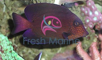 Chevron Tang - Ctenochaetus hawaiiensis - Hawaiian Bristletooth - Hawaiian Surgeon fish - Black Surgeonfish