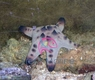 Chocolate Chip Sea Star - Protoreastor nodosus - Chocolate Chip Sea Star