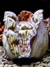Derasa Clam Cultured - Tridacna derasa - Smooth Giant Clam