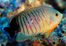 Eibli Angelfish - Centropyge eibli - Eibli Angel - Blacktail Lemonpeel Angel - Red Stripe Angel