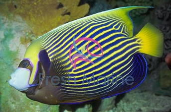 Emperor Angelfish - Pomacanthus imperator - Imperator Angel Fish