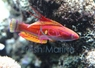 Filamented Flasher Wrasse - Paracheilinus filamentosus - Flasher Flasher Wrasse