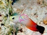 Firefish Goby - Nemateleotris magnifica - Brownbarred Goby