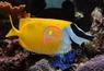 Foxface Rabbitfish - Lo vulpinus - Fox face Rabbit Fish