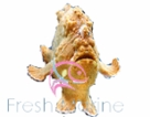 Frogfish and Anglers