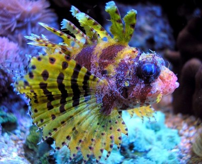 ... Dendrochirus brachypterus - Buy Cheap Shortfin Lion Fish at Wholesale