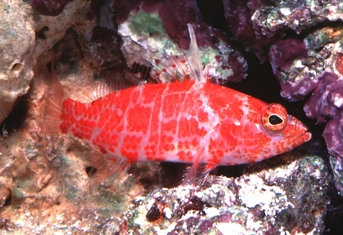 Geometric Pygmy Hawkfish - Plectranthias species - Geometric Pygmy Hawk - Geometric Flame Hawk